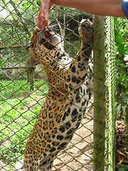 animal, big cats, cheetah, leopard, zoo, jaguar, fauna, ocelot,