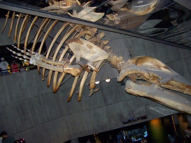 Fin whale skeleton - photo#4