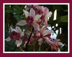 Cymbidium insigne orchid species