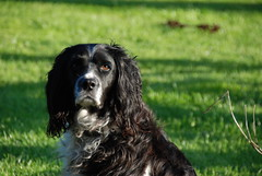 dog breed, animal, dog, boykin spaniel, large mã¼nsterlã¤nder, pet, small mã¼nsterlã¤nder, field spaniel, drentse patrijshond, setter, russian spaniel, english cocker spaniel, picardy spaniel, blue picardy spaniel, spaniel, german spaniel, french spaniel, english springer spaniel, carnivoran,