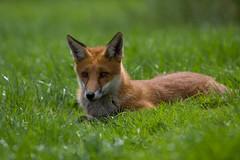 Fox or sheepdog?
