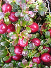 Lowbush cranberries