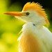 Cattle Egret Portrait by Light Your World Photography