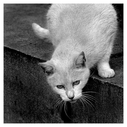 Black and white photograph of a cat, leaning over a ledge.