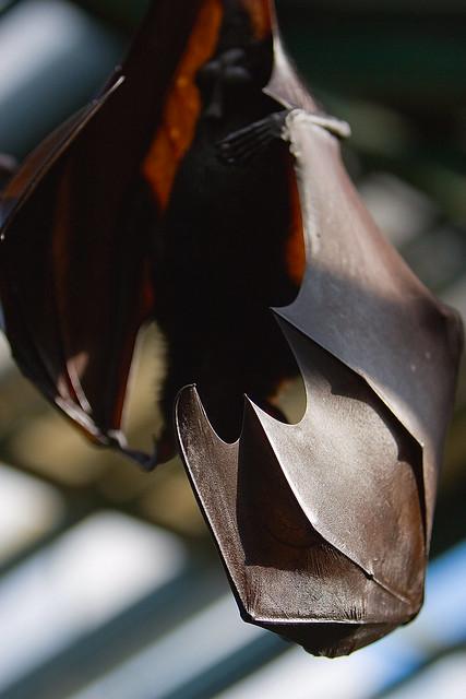 Header of bat wing