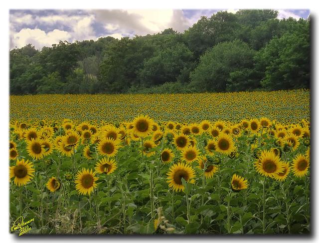 Sunflower Field ... HDR