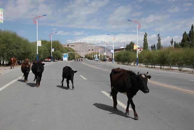 タシュクルガン、カラコルムハイウェイをゆく牛たち