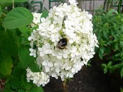 blossom(0.0), lilac(0.0), shrub(1.0), flower(1.0), hydrangea serrata(1.0), plant(1.0), flora(1.0),