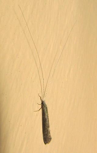 caddisfly leptocerusamericanus leptocerus leptoceridae leptoceroidea brevitentoria integripalpia trichoptera insect fauna lateral monterey berkshirecounty massachusetts ma july