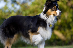 phalã¨ne(0.0), rough collie(0.0), border collie(1.0), dog breed(1.0), animal(1.0), dog(1.0), pet(1.0), scotch collie(1.0), miniature australian shepherd(1.0), australian shepherd(1.0), collie(1.0), english shepherd(1.0), carnivoran(1.0), shetland sheepdog(1.0),