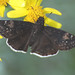 Funereal Duskywing - Photo (c) Jerry Oldenettel, some rights reserved (CC BY-NC-SA)
