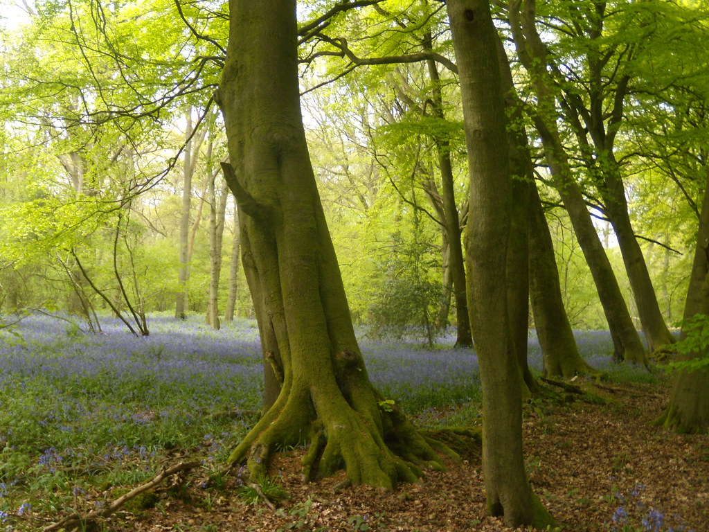 A wood - bluebells Nice green too. Goring Circular (via Moulsford