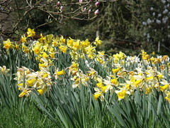 Blickling Hall - daffodils on there way out