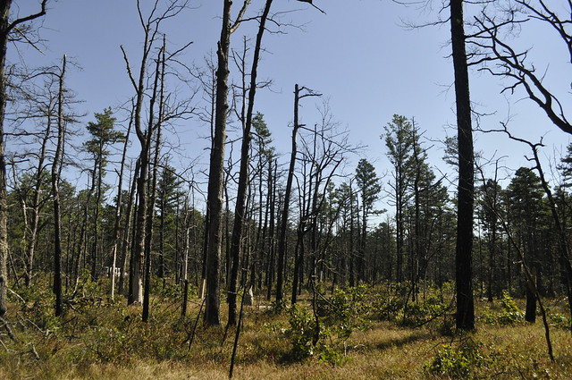 A section of pine forest that recently experienced a fire. Photo by Anjali Satyu.