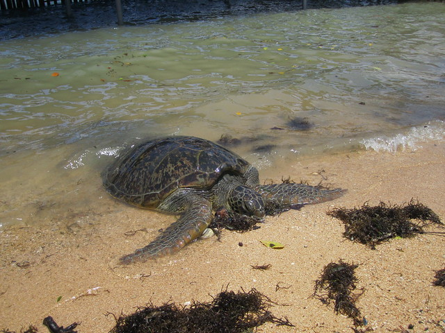 Turtle at Nusa Dua