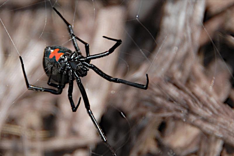 пожалуй, фото паука черная вдова город, где соединяются