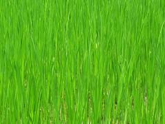 food(0.0), lawn(0.0), plant stem(0.0), flooring(0.0), prairie(1.0), agriculture(1.0), field(1.0), grass(1.0), plant(1.0), wheatgrass(1.0), hierochloe(1.0), green(1.0), paddy field(1.0), meadow(1.0), grassland(1.0),