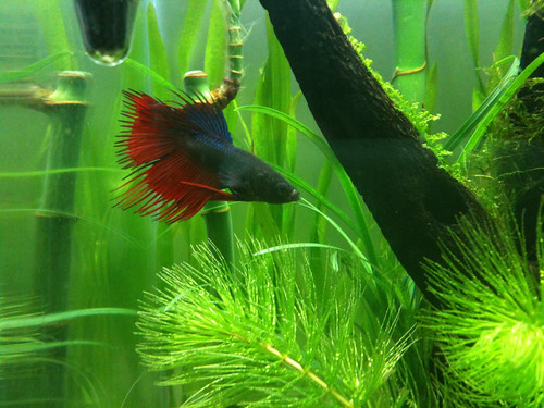 Can betta fish eat goldfish food tropical fish care guides for Betta fish diet