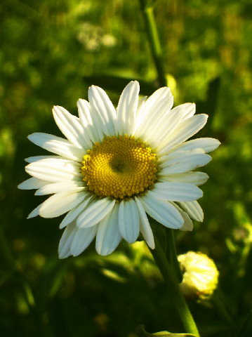 shaded daisy