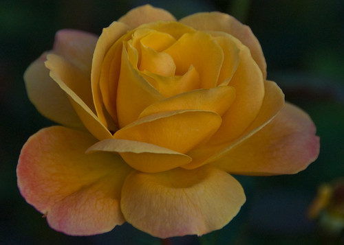 Yellow Rose (for all those wonderful Texas flikrites)