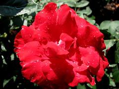 Rose Garden, Raleigh NC 6742
