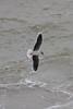067050-IMG_2497 Little Gull (Larus minutus) by ajmatthehiddenhouse
