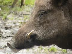 peccary(0.0), animal(1.0), wild boar(1.0), domestic pig(1.0), pig(1.0), snout(1.0), fauna(1.0), close-up(1.0), pig-like mammal(1.0), warthog(1.0), wildlife(1.0),
