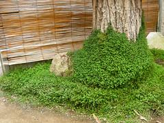 Du japon dans un jardin helxine un couvre sol de for Jardin japonais plantes couvre sol