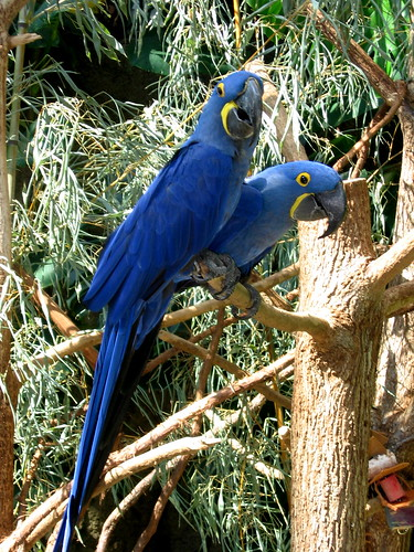 Hyacinth Macaws at the Tennessee Aquarium