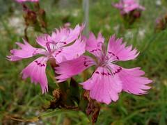 blossom(0.0), shrub(0.0), peruvian lily(0.0), annual plant(1.0), flower(1.0), wildflower(1.0), flora(1.0), dianthus(1.0), petal(1.0),