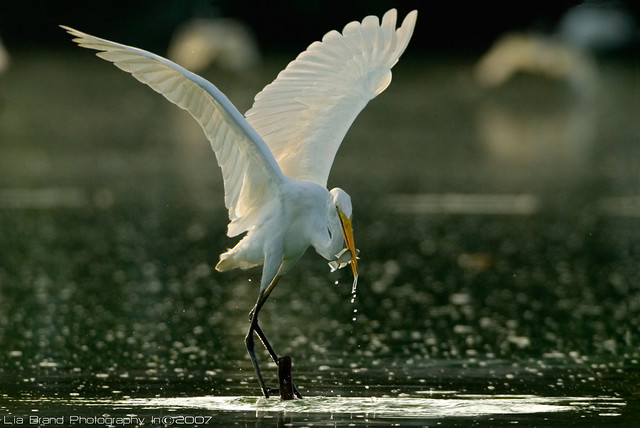 gobble♫, gobble ♫, gobble it up!~~  <°)))><  ~~ great egret from bali♫