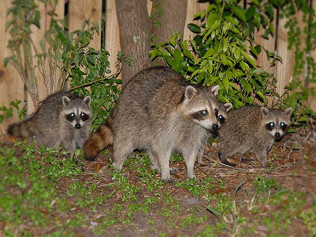 Raccoons in the back yard!   Flickr - Photo Sharing!