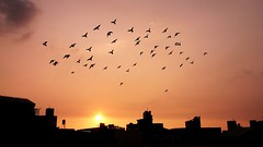 animal migration, horizon, sun, evening, silhouette, morning, flock, skyline, bird migration, sky, dusk, dawn, sunset, sunrise, bird,