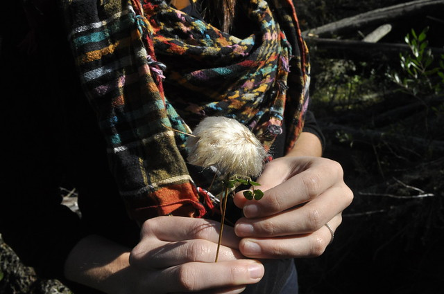 The fluffy seed head of cotton-grass (Eriophorum virginicum). Photo by Anjali Satyu.