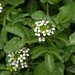 Watercress - Photo (c) Jerry Oldenettel, some rights reserved (CC BY-NC-SA)