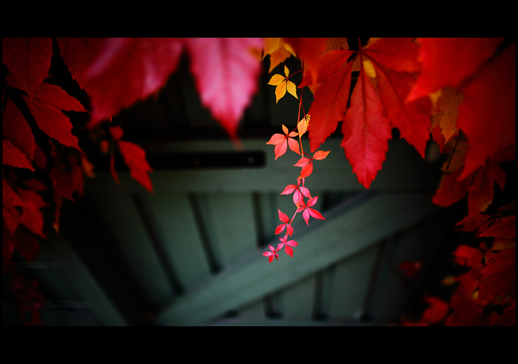 parthenocissus in my garden by Ulf Bodin