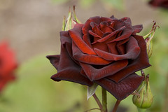 Black roses, Black Rose