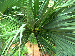 tropics(0.0), flower(0.0), plant stem(0.0), arecales(1.0), borassus flabellifer(1.0), rainforest(1.0), leaf(1.0), tree(1.0), plant(1.0), flora(1.0), saw palmetto(1.0), jungle(1.0), vegetation(1.0),