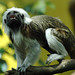 Cotton-headed Tamarin - Photo (c) Luciano Giussani, some rights reserved (CC BY-NC-SA)