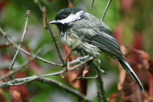 a wet chickadee.