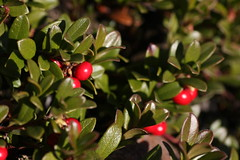 blossom(0.0), evergreen(0.0), shrub(0.0), acerola(0.0), flower(0.0), aquifoliaceae(0.0), aquifoliales(0.0), branch(1.0), leaf(1.0), arctostaphylos uva-ursi(1.0), macro photography(1.0), flora(1.0), produce(1.0), fruit(1.0), lingonberry(1.0),