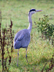 animal(1.0), fauna(1.0), little blue heron(1.0), heron(1.0), beak(1.0), crane-like bird(1.0), crane(1.0), bird(1.0), wildlife(1.0),