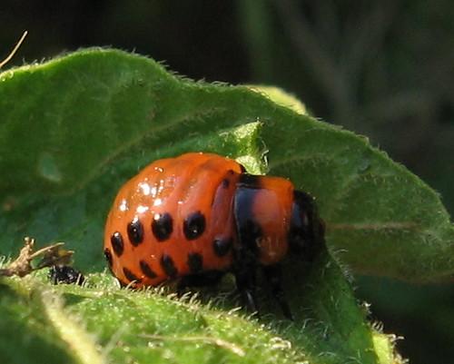 Colorado Potato Beetle larva   Flickr - Photo Sharing!