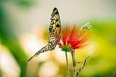 Butterfly / Papillon