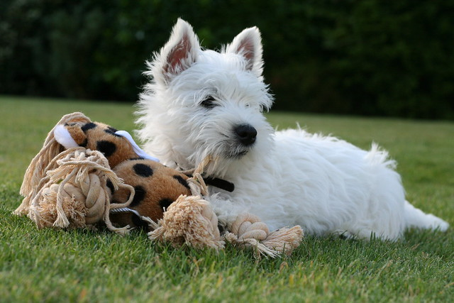 Cute West Highland White Terrier Puppy with Dog Toy
