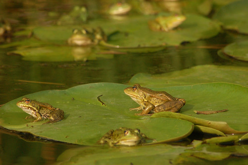 Pictures Of Frogs On Lily Pads Fashion Pictures