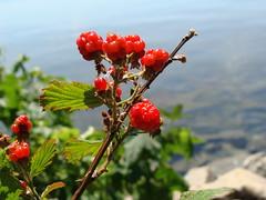 Blackberries, flowers, fruit and leaves