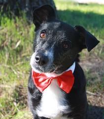 australian kelpie(0.0), puppy(0.0), street dog(0.0), australian cattle dog(0.0), patterdale terrier(0.0), dog breed(1.0), animal(1.0), dog(1.0), pet(1.0), karelian bear dog(1.0), mammal(1.0), terrier(1.0),