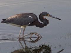 redshank(0.0), great egret(0.0), pelecaniformes(0.0), ibis(0.0), animal(1.0), wing(1.0), fauna(1.0), little blue heron(1.0), heron(1.0), beak(1.0), bird(1.0), wildlife(1.0), egret(1.0),