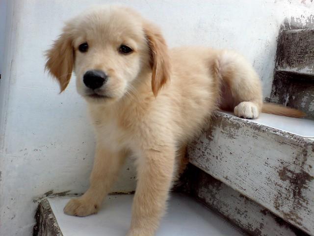 Sad Cute Golden Retriever Puppy
